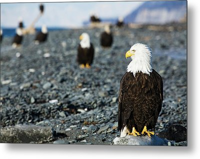 Bald Eagles Standing On The Shore Metal Print