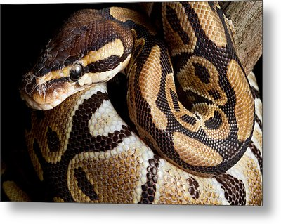Metal Print featuring the photograph Ball Python Python Regius by David Kenny