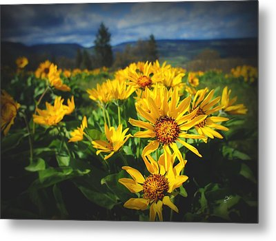 Balsamroot Of The Gorge Metal Print by TK Goforth