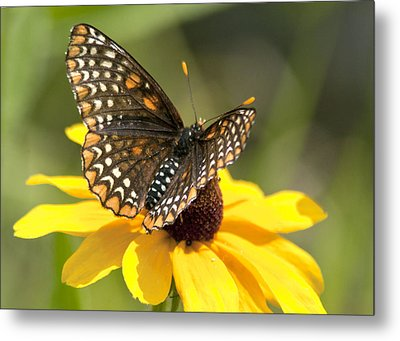 Baltimore Checkerspot And Black-eyed Susan Metal Print
