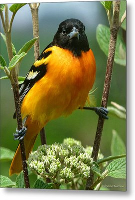 Baltimore Oriole Metal Print by Bruce Morrison