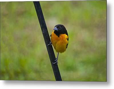 Baltimore Oriole On Pole Metal Print by Shelly Gunderson