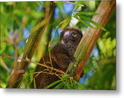 Bamboo Lemur In The Bamboo Forest Metal Print by Keren Su