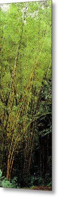 Bamboo Trees In A Forest, Akaka Falls Metal Print