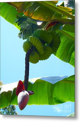 Banana Stalk Metal Print by Carey Chen