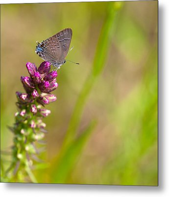 Banded Hairstreak Butterfly Metal Print by Melinda Fawver