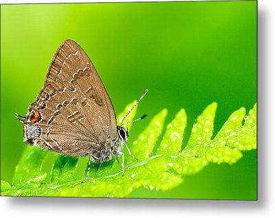 Banded Hairstreak Butterfly Metal Print by Photography  By Sai
