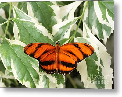 Banded Orange Longwing Butterfly Metal Print by Judy Whitton