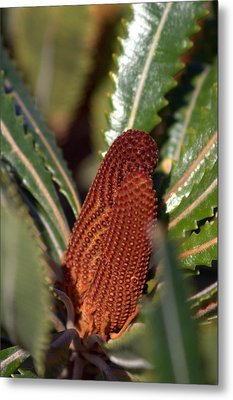 Metal Print featuring the photograph Banksia by Miroslava Jurcik