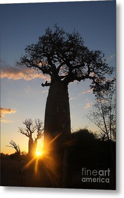 baobab from Madagascar 6 Metal Print