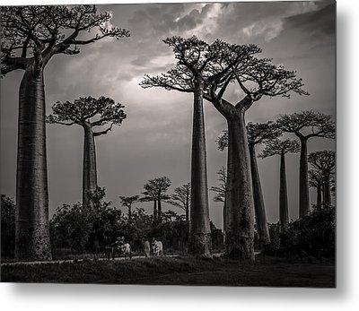 Baobab Highway Metal Print