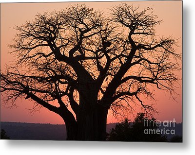 Metal Print featuring the photograph Baobab Tree Sunset by Chris Scroggins