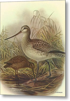 Bar Tailed Godwit And Chatham Island Snipe Metal Print by Rob Dreyer