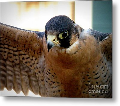 Barbary Falcon Wings Stretched Metal Print by Lainie Wrightson