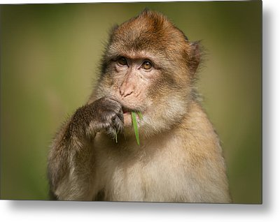 Barbary Macaque Metal Print by Andy Astbury