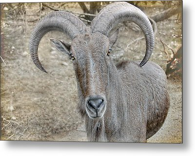 Metal Print featuring the photograph Barbary Sheep by Dyle   Warren