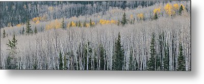 Bare Quaking Aspens And A Few Engelmann Metal Print by Panoramic Images