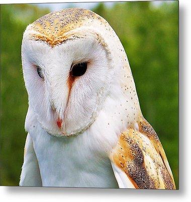 Barn Owl... Metal Print