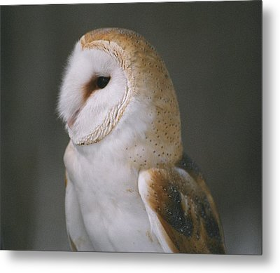 Metal Print featuring the photograph Barn Owl by David Porteus