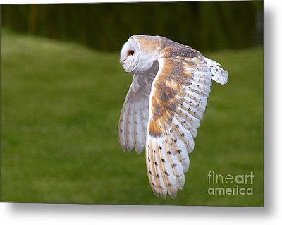 Metal Print featuring the photograph Barn Owl In Flight by Nick  Biemans