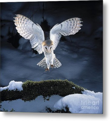 Barn Owl Landing Metal Print by Manfred Danegger