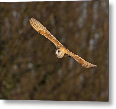 Metal Print featuring the photograph Barn Owl   by Paul Scoullar