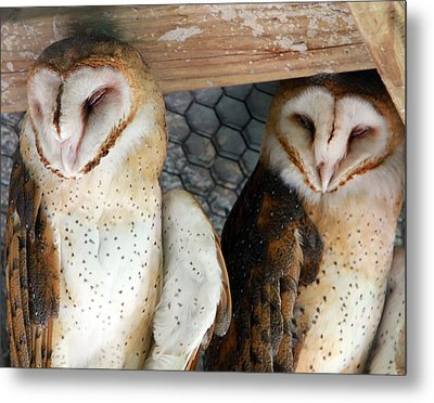 Barn Owls Metal Print by David Yunker
