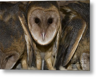 Barn Owls Metal Print