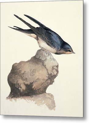 Barn Swallow, 19th Century Metal Print by Science Photo Library