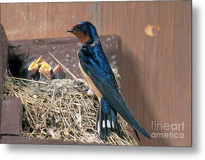 Barn Swallow At Nest Metal Print by Anthony Mercieca