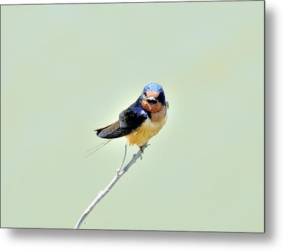 Metal Print featuring the photograph Barn Swallow by Kathy King
