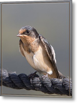 Barn Swallow On Rope I Metal Print by Patti Deters