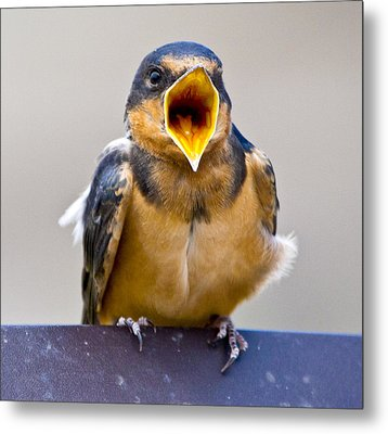 Metal Print featuring the photograph Barn Swallow by Ricky L Jones