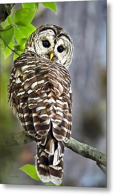 Metal Print featuring the photograph Barred Owl by Christina Rollo