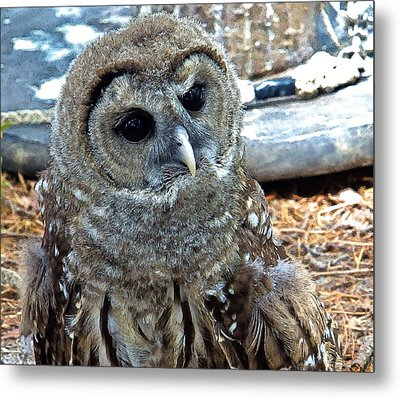 Metal Print featuring the photograph Barred Owl by Constantine Gregory