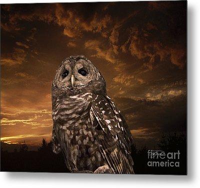 Barred Owl  Metal Print by Cris Hayes