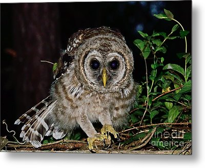 Barred Owl Crouches To Spring Metal Print by Wayne Nielsen