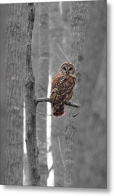 Barred Owl In Winter Woods #1 Metal Print