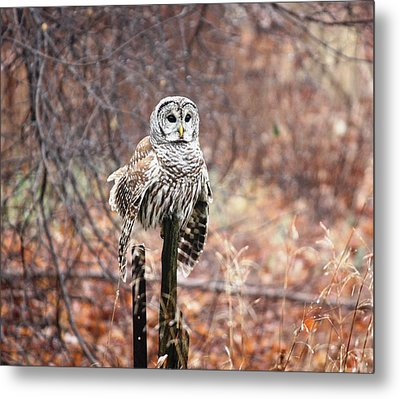Barred Owl Metal Print