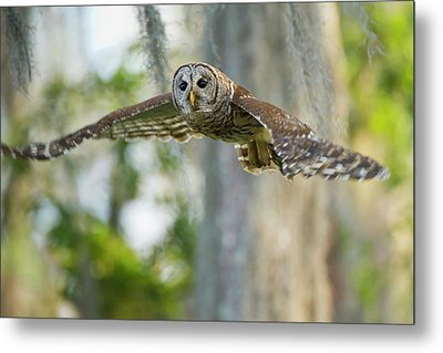 Barred Owl (strix Varia Metal Print by Larry Ditto