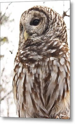 Barred Owl Metal Print by Tammy Schneider