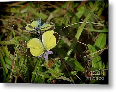Barred Yellow Butterflies Metal Print by Lynda Dawson-Youngclaus