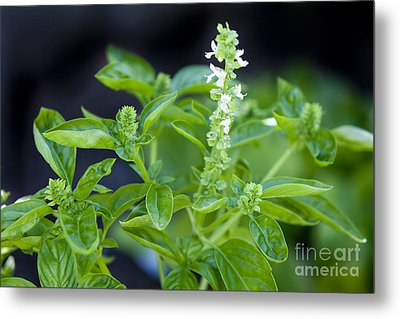 Metal Print featuring the photograph Basil With White Flowers Ready For Culinary Use by David Millenheft