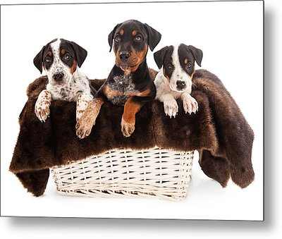 Basket Of Rottweiler Mixed Breed Puppies Metal Print by Susan Schmitz