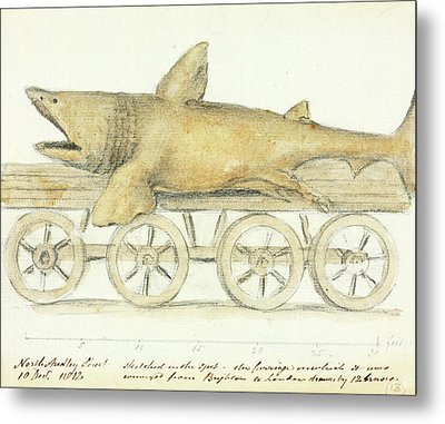 Basking Shark Metal Print by Natural History Museum, London