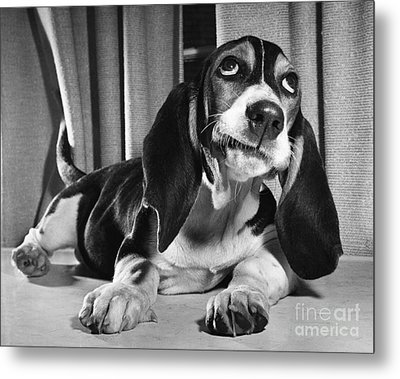 Basset Hound Puppy Metal Print by ME Browning