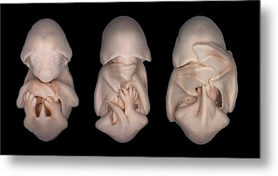 Bat Embryos Metal Print