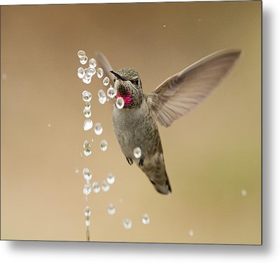 Bath Time For Anna's Hummingbird Metal Print by Doug Herr