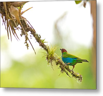 Bay-headed Tanager Metal Print