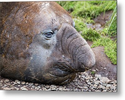 Beach Master Southern Elephant Seal Metal Print by Ashley Cooper